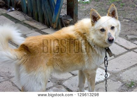 Chained orange watchdog puppy with tongue out