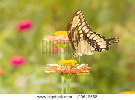 Giant Swallowtail butterfly feeding on a flower in sunny summer garden
