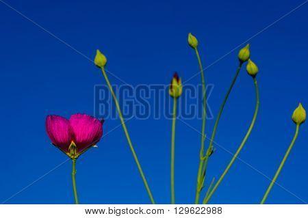 winecup (Callirhoe involucrata) Texas Native Wildflower with bulbs