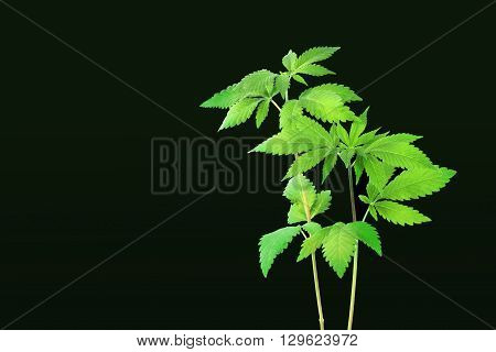 Two green big hemp sprouts on a black background