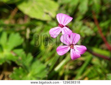 Herb Robert Geranium robertianum small bright pink wild flowers