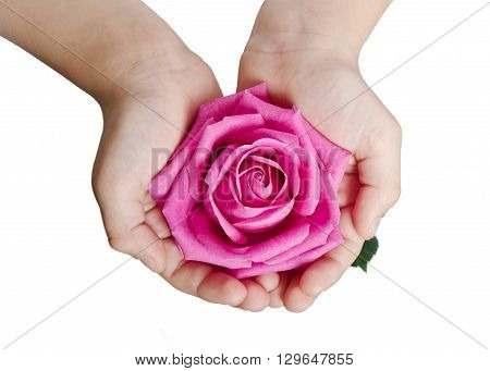 beautiful pink rosebud in hands over white
