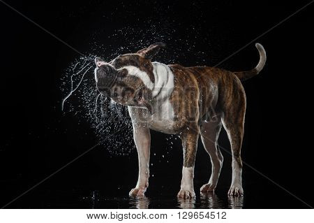 American Bulldog dog Motion in the water active dogs aqueous shooting