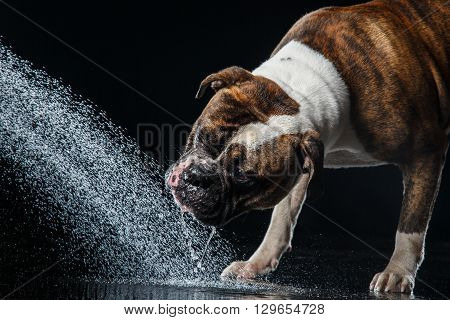 American Bulldog, Dog Motion In The Water