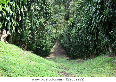 path in the rainforest at a coffee plantation. Nicaragua