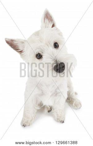 Portrait of West Highland White Terrier dog isolated on white background