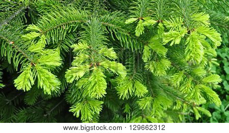 Beautiful green yew twig in spring outdoor