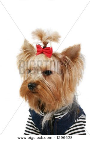 yorkshire terrier fine dog small youth design clothes poster