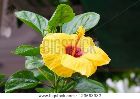 Beautiful chinese rose (Cha-ba) yellow color Naturally beautiful flowers in the garden