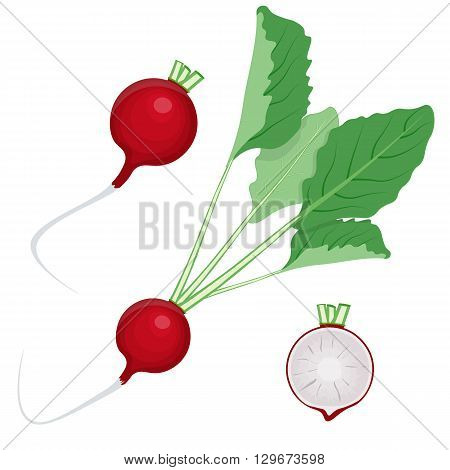 radish vector illustration isolated on a white background