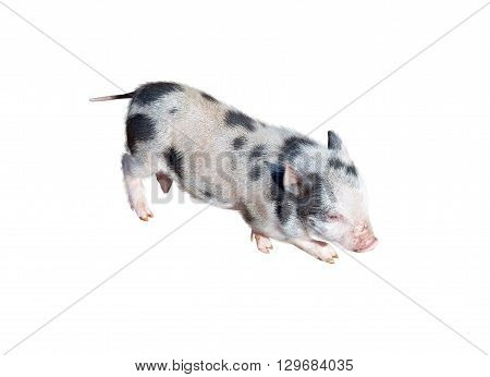 the little young pig on white background