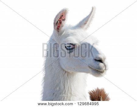 Beautiful lama portrait on a white background