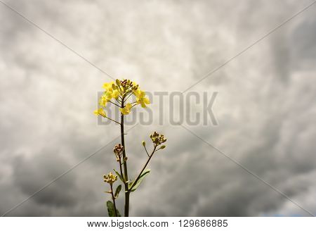 Single Yellow Rape Seed Plant And Flower