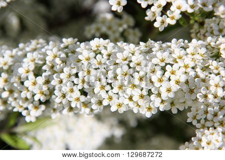Aronia Flowers. Bunch of flowers chokeberry.  White blossoms on bird cherry tree in sunny summer forest