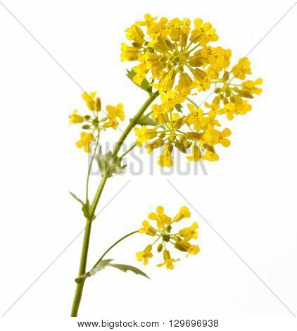 Flowering Barbarea vulgaris or Yellow Rocket plant (Cruciferae, Brassicaceae) close up isolated on white