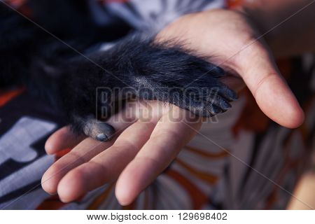 Human hand and Black Spider monkey paw. Handshake. Friendship of person and animal. Protection of endangered animals. Animal's trust in people