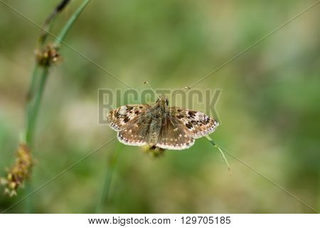 Dingy skipper butterfly (Erynnis tages) on grass. A butterfly in the family Hesperiidae at rest in an English calcareous meadow