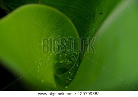 Inside A Swirled Banana Leaf After Rain At Rainbow Falls