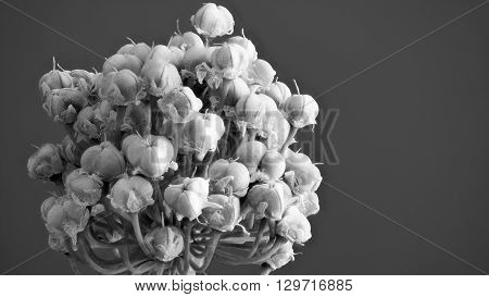 Spring Onion glower  in monochrome against a grey background