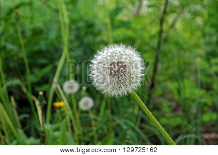 Close-up of dandelion flower with fluff on green background