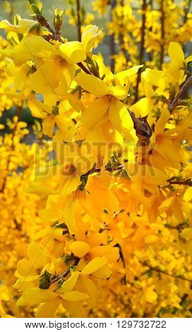 Beautiful branches of spring yellow forsythia flowers