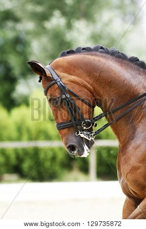 Head shot of a thoroughbred racehorse with beautiful trappings under saddle during training