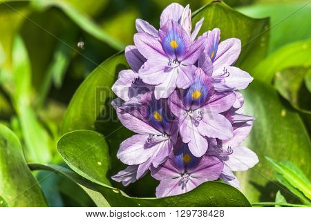 Eichhornia crassipes or Common water hyacinth flower a beautiful and attractive flowers