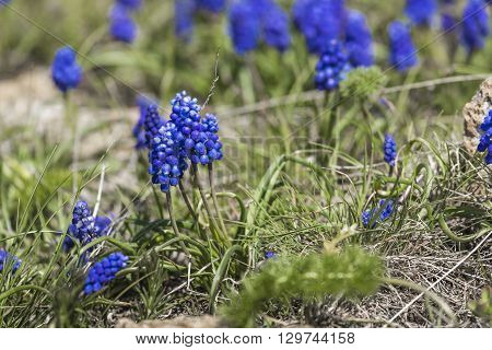 Blue Hyacinth with green grass in Armenia