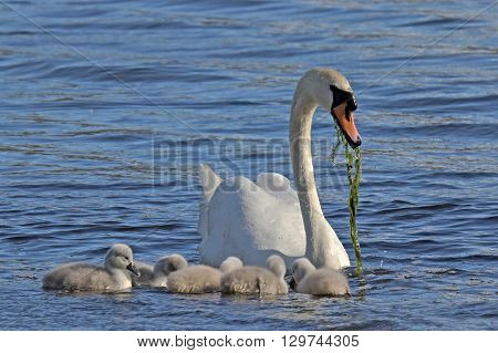 A mother mute swan showing her cygnets how to get food.