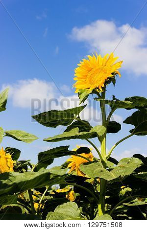 tall sunflower on the field tends to the sun