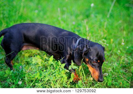 Black Dachshund Hunting Among The Green Grass