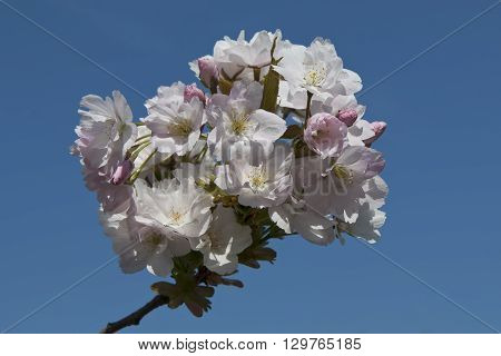 Closeup on cherry flowers against the blue sky