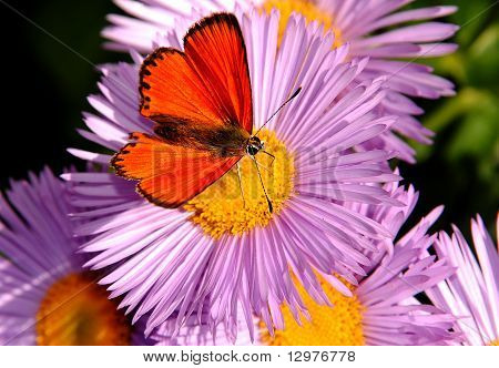 The Red Butterfly On A Flower