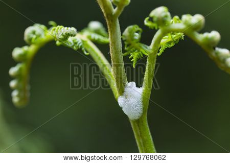 Foam bubbles of a spittlebug or froghopper on a plant in the forest of the Ardennes Belgium poster