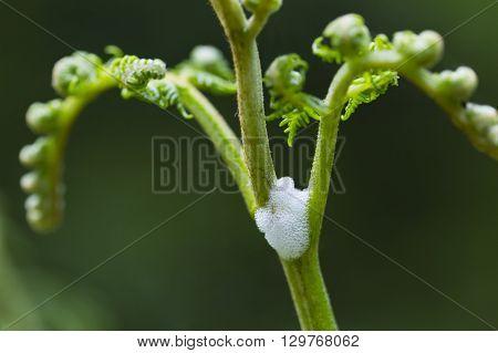 Spittlebug Foam On Plant