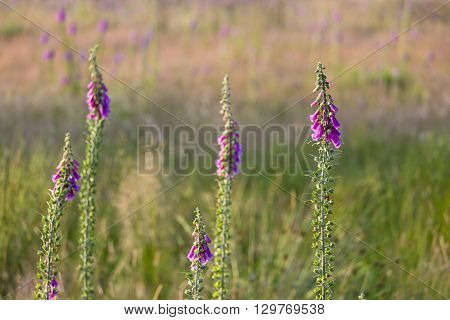 Purple Foxglove In The High Fens, Belgium