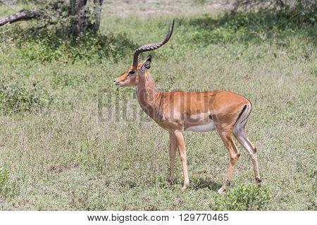 An impala standing on the Serengeti in Tanzania, Africa