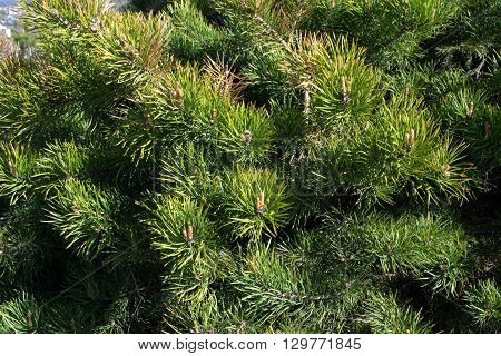 green spruce, pine thickets, shot as a background