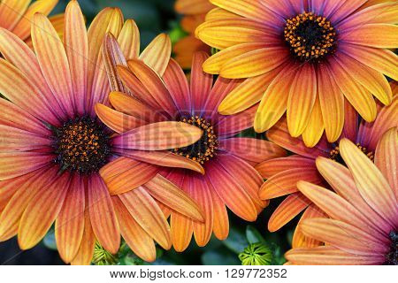 The Spanish Daisies or Marguerite come in many colors