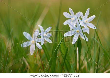 fresh striped squill flowers at garden grass in spring