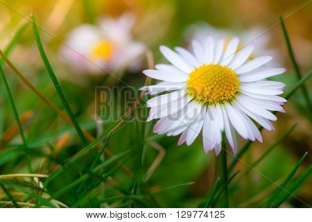 closeup macro of daisy flower blossom at spring grass garden