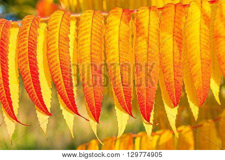 Red And Yellow Autumn Leaves In Detial
