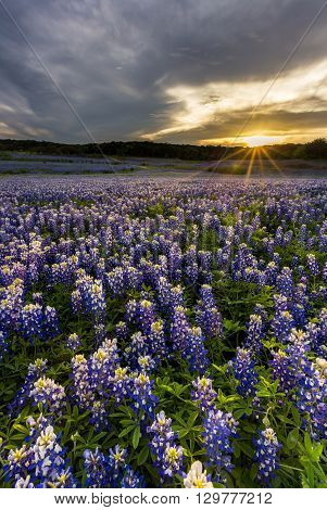 Beautiful Bluebonnets Field At Sunset Near Austin, Texas.