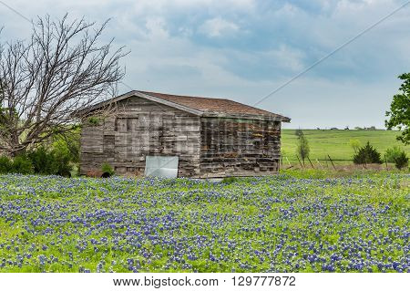 Texas Bluebonnet Field And Old Barn In Ennis