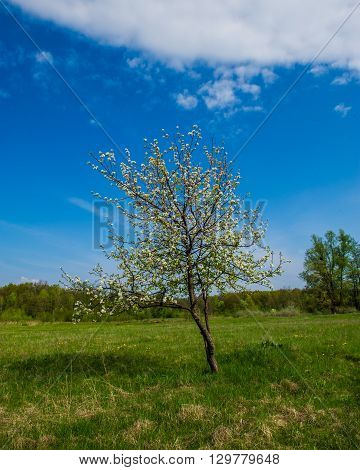 flowering pear tree in the forest on a sunny day
