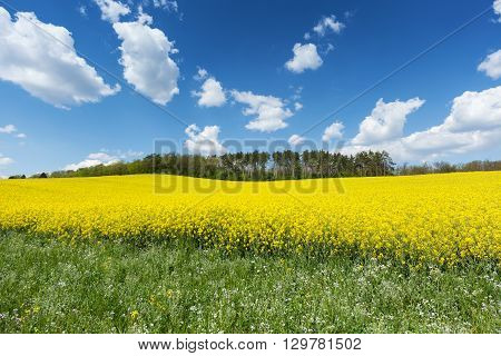 Blooming rapeseed field in springtime with blue sky and cumulus clouds