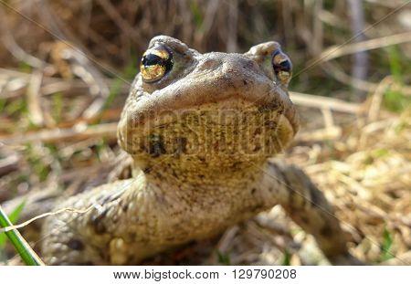Common Toad - Macro