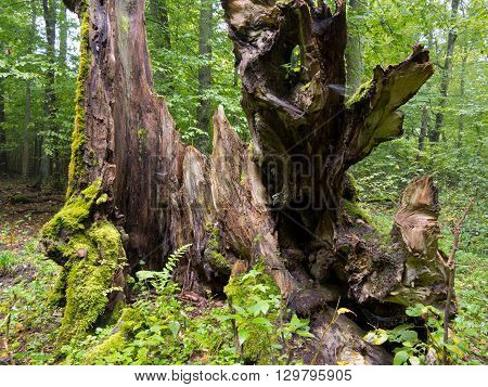 Moss wrapped old hornbeam tree stump from inside, Bialowieza Forest, Poland, Europe