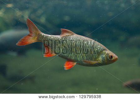 Common rudd (Scardinius erythropthalmus). Wild life animal.
