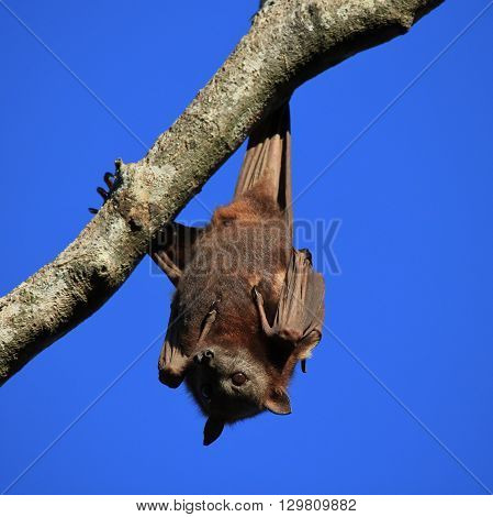 Halloween symbol bat. Flying fox also named fruit bat. Wild animal living in Australia.
